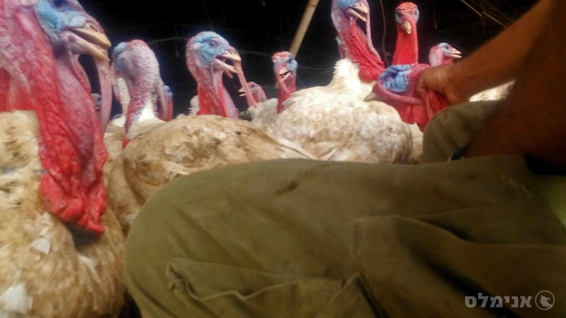 התעללות בתרנגול הודו
